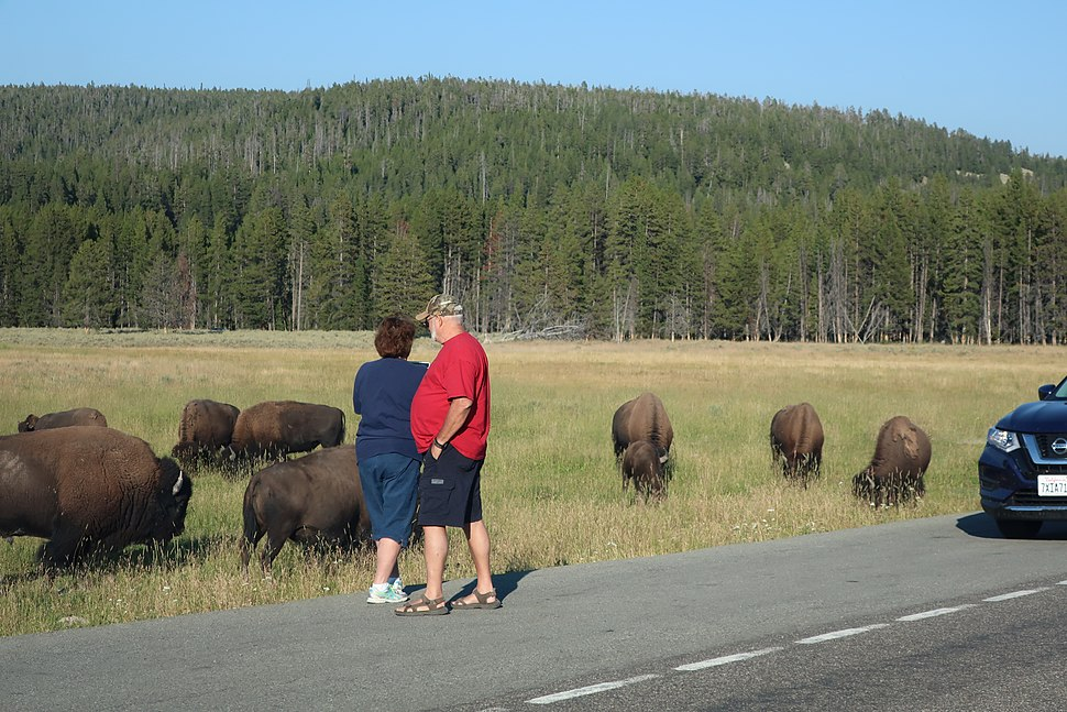 Tourists get close to a wild herd of American Bison (Bison bison) to take a photo at Yellowstone National Park in Wyoming