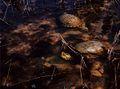 Trachemys adiutrix in Lençóis Maranhenses National Park - ZooKeys-246-051-g007-H.jpeg