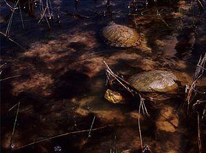 Maranhão slider - Image: Trachemys adiutrix in Lençóis Maranhenses National Park Zoo Keys 246 051 g 007 H
