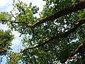 Traubeneiche (Quercus petraea), Steiermark 02.JPG