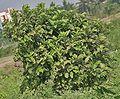 Tree I MG 6095.jpg