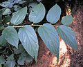 Trema orientalis, loof, Burmanbos.jpg