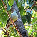 Treron calvus glaucus in Ficus lutea, Pietersburg, c.jpg
