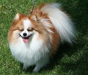 Pomeranian dog - Tri-colored Pomeranian