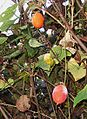 Trichosanthes cucumeroides fruits1.jpg