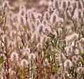 Trifolium arvense 20190521a.jpg