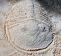 Trilobite in the sand 8 (46789951371).jpg