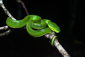 Trimeresurus albolabris, White-lipped pit viper (female) - Kaeng Krachan National Park (27493423545).jpg