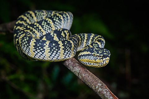 Wagler's palm pit viper