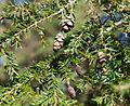 Tsuga canadensis (Canadian Hemlock) (31181760063).jpg