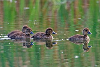 Tufted duck - Image: Tufted Duck ducklings