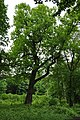 Tulip Tree at Jezeří.JPG