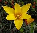 Tulipa clusiana var chrysantha 1.JPG