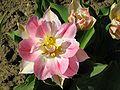 Tulipa gesneriana 2.jpg