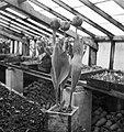 Tulp Commander den Ouden te Noordwijk, Bestanddeelnr 904-4691.jpg