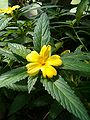 Turnera ulmifolia LeavesFlower BotGardBln0906.JPG