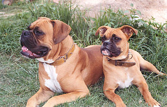 Boxer (dog) - Two fawn boxer dogs