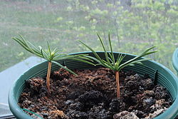 Two month age sprouts of siberian pine.jpg