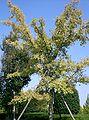 Ulmus parvifolia3.jpg