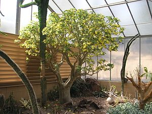 Desert Garden Conservatory - Image: Uncarina grandidieri PICT8748