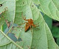 Unidentified spider of Oxyopidae family 7919.jpg