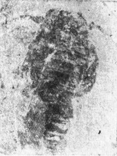 <i>Unionopterus</i>