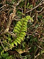 Unseasonal fern, Higher Knowle - geograph.org.uk - 1553208.jpg