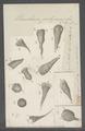 Urceolaria polymorpha - - Print - Iconographia Zoologica - Special Collections University of Amsterdam - UBAINV0274 113 21 0023.tif