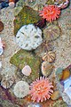 Urchins and sea anemones live together in harmony. - panoramio.jpg