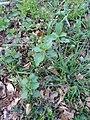 Urtica dioica (Urticaceae).jpg