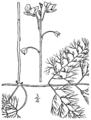 Utricularia macrorhiza BB-1913.png