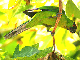 The Uvea Parakeet is endemic to Ouvéa Island
