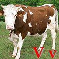 V Vache.jpg