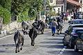 Vacas-tudancas-pasas-de-cieza-2013.JPG