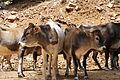 Vaches du djebel Chélia 1.JPG