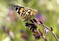 Vanessa cardui - Diken kelebeği 17.jpg