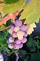 Veraison in Zinfandel Grapes.jpg
