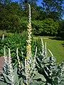 Verbascum densiflorum 'dense-flowered mullein' 2007-06-02 (upper plant).jpg