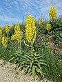 Verbascum speciosum sl23.jpg