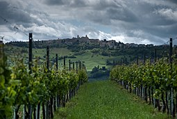 Verdicchio vines in Cupramontana.jpg