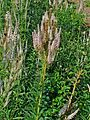 Veronicastrum virginicum 001.JPG