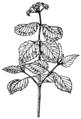 Viburnum (PSF).png