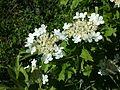 Viburnum opulus sl12.jpg