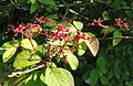 Viburnum plicatum - Botanischer Garten, Frankfurt am Main - DSC03304.JPG