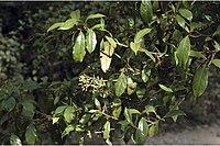 Viburnum punctatum Buch.-Ham. ex D. Don.jpg