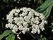 Viburnum rhytidophyllum qtl1.jpg