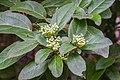 Viburnum tinus in Gard 01.jpg