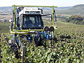 Vigne Pinot Noir (Efeuillage) Festigny Cl.J.Weber19 (23677733045).jpg