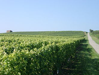 Dardagny - Vineyards near Dardagny