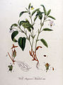 Viola stagnina — Flora Batava — Volume v9.jpg